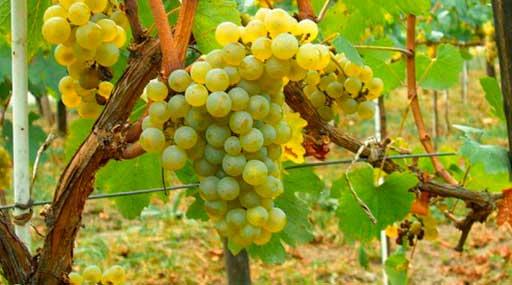 Винодельческое хозяйство 2